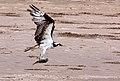 Osprey, Lower Rio Grande Valley National Wildlife Refuge (5610296753).jpg