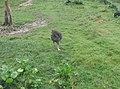 Ostrich in Zoo Negara Malaysia (3).jpg