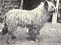 Owtchar aka Russian Sheepdog from 1915.JPG