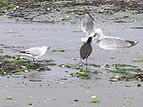 Oyster catcher harassed by gulls 01.jpg
