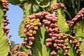 Pájara La Lajita - Oasis Park - Euphorbia cooperi 03 ies.jpg