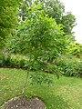 P1000687 Rhus copallina (Shining Sumac, Winged Sumac) (Anacardiaceae) Plant.JPG