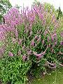 P1000692 Lythrum salicaria (Feuerkerze) (Lythraceae) Plant.JPG