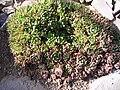 P1130560 Haworthia cymbiformis (Aloeaceae).JPG