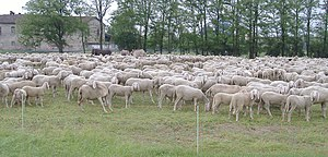 PECORE-SHEEPS-CORDEIROS-02.JPG