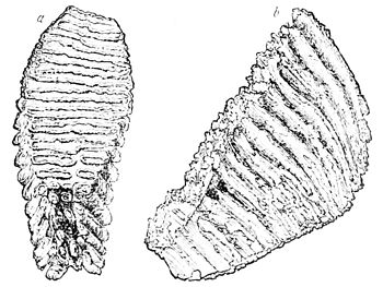 PSM V17 D245 Molar tooth of mammoth.jpg