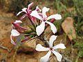Pachypodium succulentum03.jpg