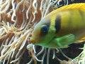 File:Pacific Coral Rabbitfish, Siganus corallinus.webm