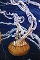 Pacific Sea Nettles (Chrysaora fuscescens) (7153387067) (2).jpg