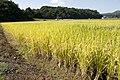 Paddy field in Kasama, Ibaraki 05.jpg