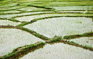 English: Paddy field in Vietnam.