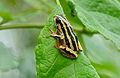 Painted Reed Frog (Hyperolius marmoratus) (16759960116).jpg