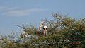 Painted Stork on a tree in Bharatpur(Keoladeo) Bird Sanctuary, Bharatpur, Rajasthan.jpg
