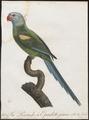 Palaeornis cyanocephalus - 1796-1808 - Print - Iconographia Zoologica - Special Collections University of Amsterdam - UBA01 IZ18500063.tif