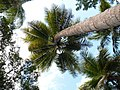 Palm Tree Rising (143733679).jpeg