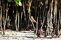 Palm warbler (33120190672).jpg
