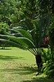 Palma chica (Cycas revoluta) (14613057774).jpg