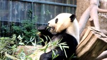Fichier:Panda San Diego Zoo.ogv