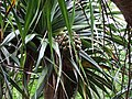 Pandanus boninensis, fruit, -Chichijima, Japan 01.jpg