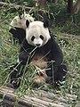 Pandas eating Bamboo - panoramio.jpg