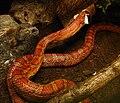 Pantherophis guttatus Ile aux Serpents 14 11 08 05.jpg