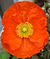 Papaver nudicaule (orange).jpg