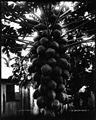 Papaya Tree (2), photograph by Brother Bertram.jpg