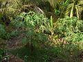 Papayo (Gujarati- પપૈયો) (3441569179).jpg