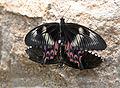 Papilio polytes Mating.jpg