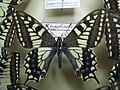 Papiliomachaonsiikkimensis.JPG