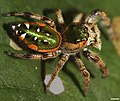 Paraphidippus aurantius 1357.jpg