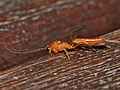 Parasitic Wasp (Ichneumonidae, Cremastinae) male (13950412743).jpg