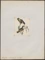 Pardalotus rubricatus - 1820-1860 - Print - Iconographia Zoologica - Special Collections University of Amsterdam - UBA01 IZ16600341.tif