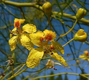 Parkinsonia aculeata - Close-up on flowers of Parkinsonia aculeata