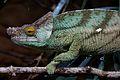 Parson's Chameleon in Chester Zoo 3.jpg