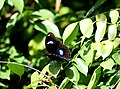 Partial open wing position leaf-top busking of Hypolimnas bolina Linnaeus, 1758 – Great Eggfly (Male) WLB DSC 1058.jpg