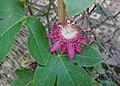 Passion Flower 2.jpg