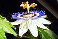 Passionsblume - Collage der Blütenöffnung (6).jpg