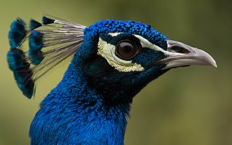 Peafowl - Head