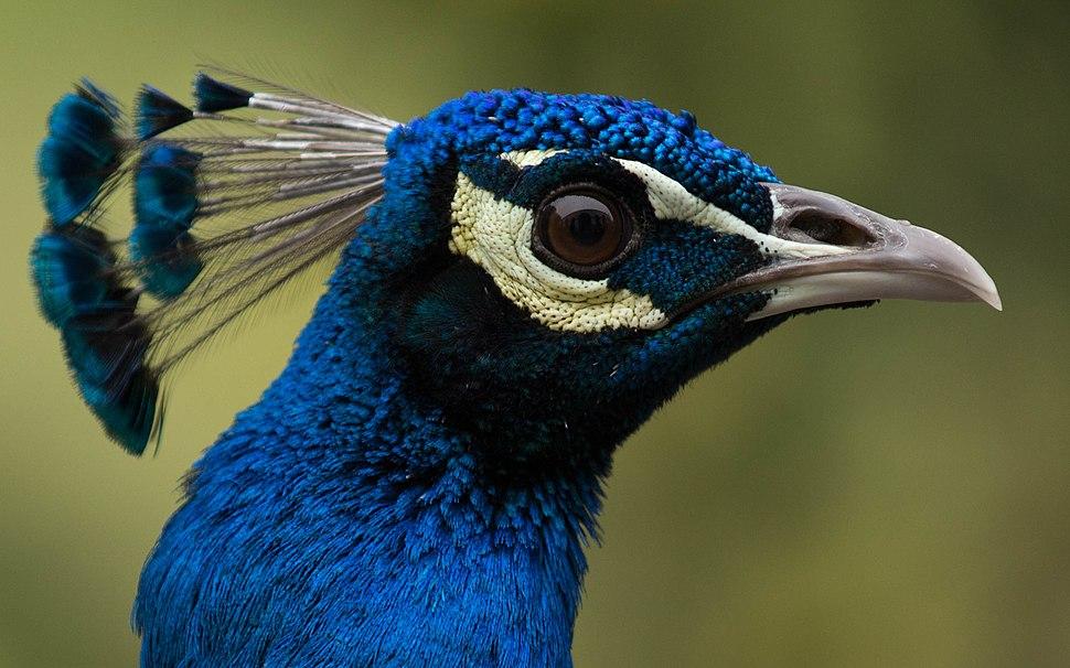 Peacock-JS