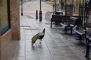English: Peacock When Dunfermline High Street ...