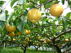 Pear-tree,katori-city,japan.JPG