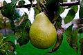Pear in tree 0465.jpg