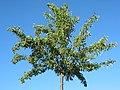 Pear tree - panoramio.jpg