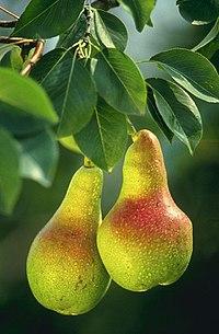 Плоди груші звичайної