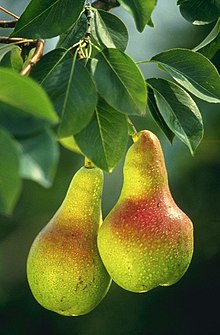 European Pear branch with fruit