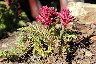 Pedicularis densiflora - Image: Pedicularis densiflora mt. diablo