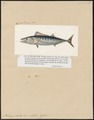Pelamys sarda - 1700-1880 - Print - Iconographia Zoologica - Special Collections University of Amsterdam - UBA01 IZ13500218.tif