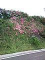 Pelos caminhos floridos da ilha Terceira, freguesia da Serreta, Açores.JPG