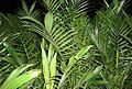 Pembibitan kelapa sawit (27).JPG